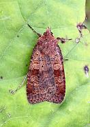 Barred Chestnut, Diarsia dahlii, Co. Leitrim