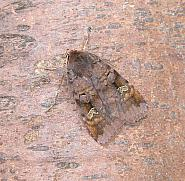 73.332 Purple Clay, Diarsia brunnea, Co Wicklow