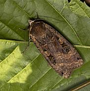 Large Yellow Underwing, Noctua pronuba, Co Louth