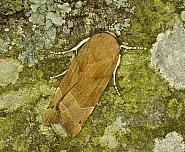 73.343 Broad-bordered Yellow Underwing, Noctua fimbriata, Co Louth