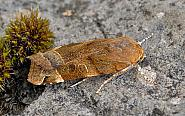 73.343 Broad-bordered Yellow Underwing Noctua fimbriata, male, Co Clare