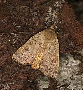 Lesser Yellow Underwing, Noctua comes, Co Louth