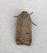 73.345 Lesser Yellow Underwing, Noctua comes, Co Wicklow