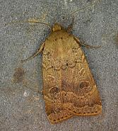 73.345 Lesser Yellow Underwing, Noctua comes, Co. Wicklow