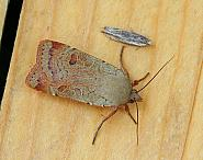 Lesser Yellow Underwing, Noctua comes, Co Leitrim