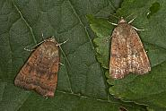 Least Yellow Underwing, Noctua interjecta, Co Louth