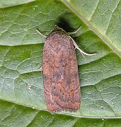 73.346 Least Yellow Underwing, Noctua interjecta, Co Wicklow