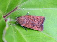 Least Yellow Underwing, Noctua interjecta, Co Donegal