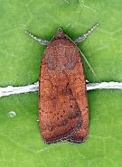 Least Yellow Underwing, Noctua interjecta, Co Leitrim
