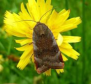 Lesser Broad-bordered Yellow Underwing, Noctua janthe, Co Antrim