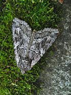 73.350 Great Brocade Eurois occulta County Antrim