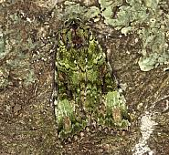 73.352 Green Arches, Anaplectoides prasina, Co Louth