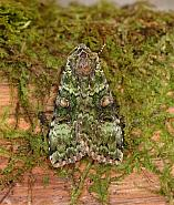73.352 Green Arches, Anaplectoides prasina, Co Wexford