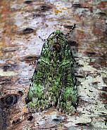 73.352 Green Arches, Anaplectoides prasina, Co Donegal