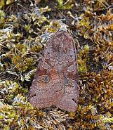 Dotted Clay Xestia baja, Co Donegal