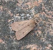 73.355 Neglected Rustic, Xestia castanea, Co Mayo