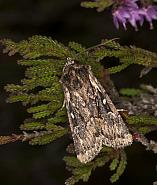 Heath Rustic Xestia agathina, Co Louth