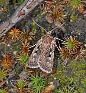 73.356 Heath Rustic, Xestia agathina, Co Wexford