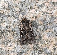 73.356 Heath Rustic, Xestia agathina, Co Mayo