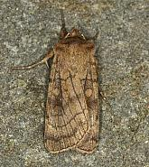 73.358 Six-striped Rustic, Xestia sexstrigata, Co Louth