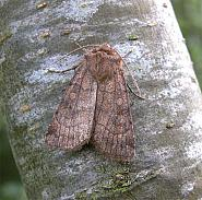 73.358 Six-striped Rustic, Xestia sexstrigata, Co Wicklow