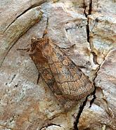 Six-striped Rustic, Xestia sexstrigata, Co Donegal