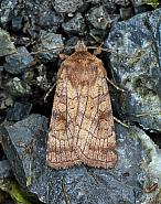 Six-striped Rustic, Xestia sexstrigata, Co Leitrim