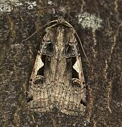 73.359 Setaceous Hebrew Character, Xestia c-nigrum, Co Louth