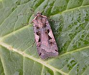 73.359 Setaceous Hebrew Character, Xestia c-nigrum, Co Wicklow