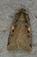 73.359 Setaceous Hebrew Character, Xestia c-nigrum, Co. Wicklow