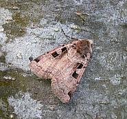 73.361 Double Square-spot, Xestia triangulum, Co Wicklow