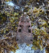 Double Square-spot, Xestia triangulum, Co Donegal