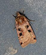 Double Square-spot, Xestia triangulum, Co Leitrim