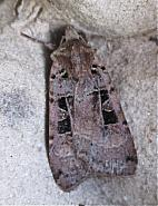 73.361 Double Square-spot, Xestia triangulum, Co Cork