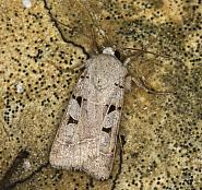 73.365 Autumnal Rustic, Eugnorisma glareosa, Co Louth
