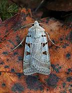 Autumnal Rustic, Eugnorisma glareosa, Co. Donegal
