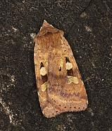 Ingrailed Clay, Diarsia mendica, Co Louth
