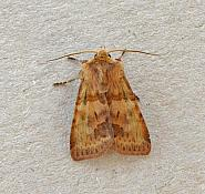 73.333 Ingrailed Clay, Diarsia mendica, Co Wexford