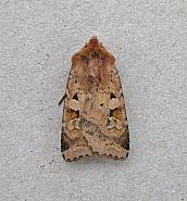 73.333 Ingrailed Clay, Diarsia mendica, Co Wicklow
