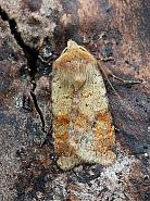 Ingrailed Clay, Diarsia mendica, Co Leitrim