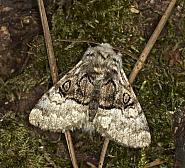Pantheinae: Nut-tree Tussock (73.071)