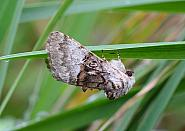 Nut-tree Tussock, Colocasia coryli, Co Leitrim