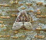 Nut-tree Tussock, Colocasia coryli, Co Donegal