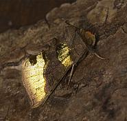 Burnished Brass, Diachrysia chrysitis, Co Louth
