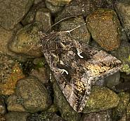 73.015 Silver-Y Moth, Autographa gamma, Co Louth