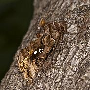 73.016 Beautiful Golden Y, Autographa pulchrina