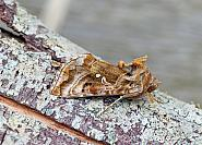 73.016 Beautiful Golden Y, Autographa pulchrina, Co Leitrim