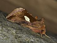 73.018 Gold Spangle, Autographa bractea, Co Louth