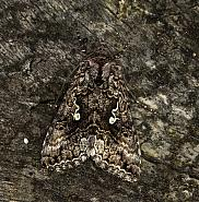 Scarce Silver Y, Syngrapha interrogationis, Co Louth