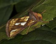 Gold Spot, Plusia festucae, Co Louth
